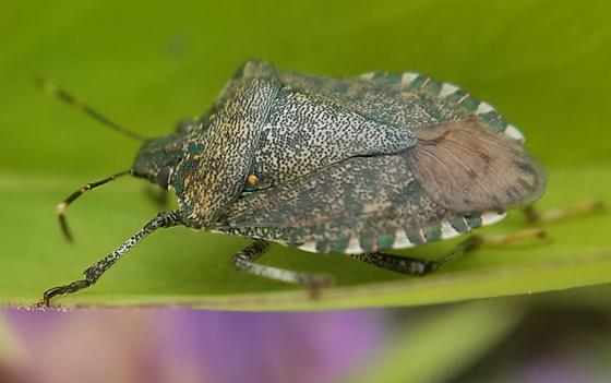 Stink bug, but which one?