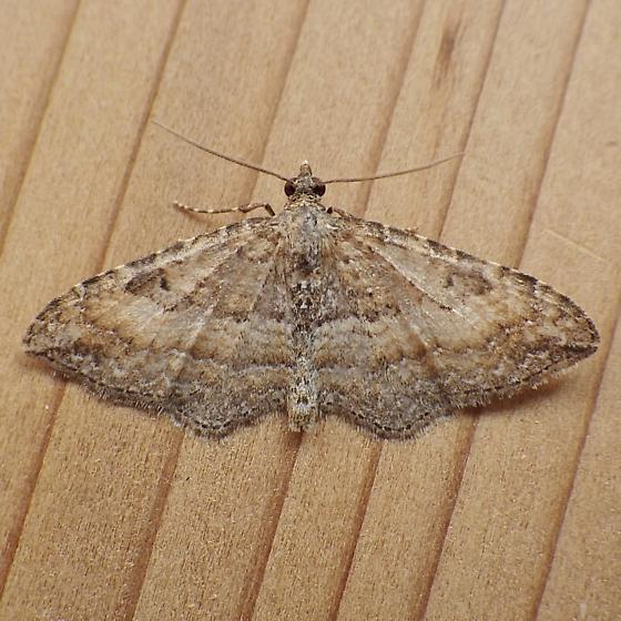 Geometridae: Orthonama obstipata - Orthonama obstipata - male