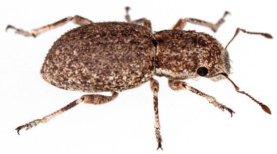 Entiminae? - Minyomerus laticeps