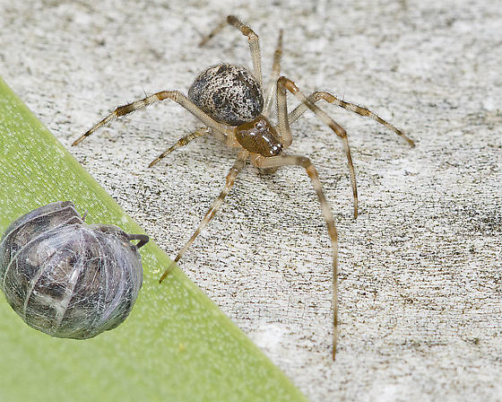 Small spider - female
