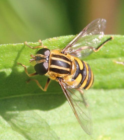 Bee-mimic at Kopegaron - Helophilus fasciatus - female