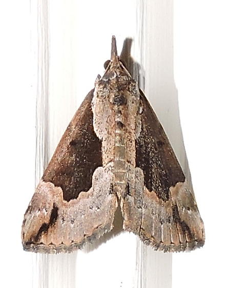 Baltimore Snout Moth - Hypena baltimoralis