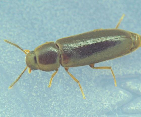 Melandryid - Rushia longula