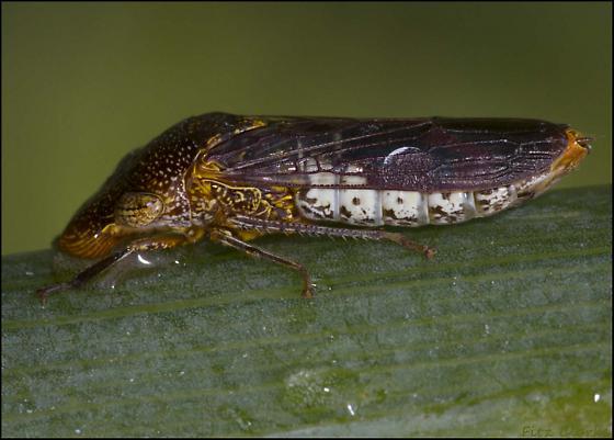 Leafhoppers, Cicadellidae ID please - Homalodisca vitripennis