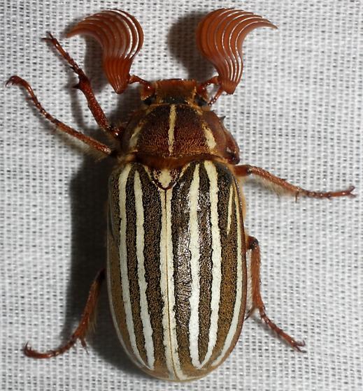 Beetle sp. - Polyphylla decemlineata - male
