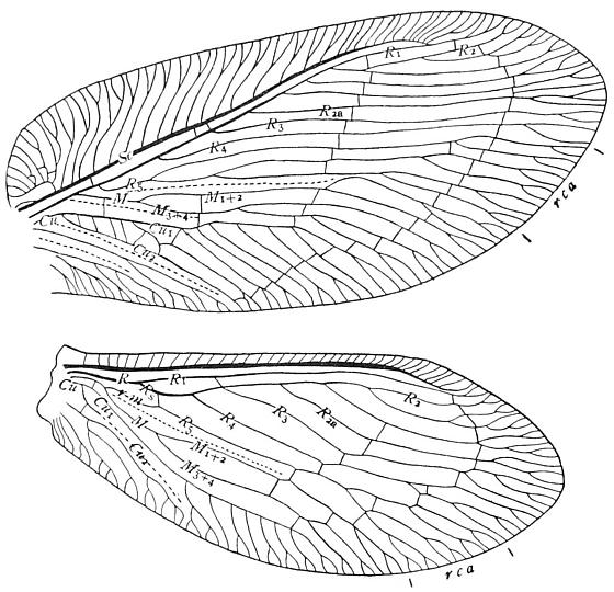 Wing venation of a Brown Lacewing - Megalomus moestus