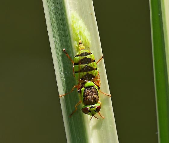 Soldier Fly - Odontomyia cincta and eggs - Odontomyia cincta - female