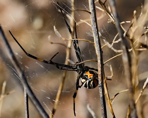 Unknown Spider 5399 - Latrodectus hesperus