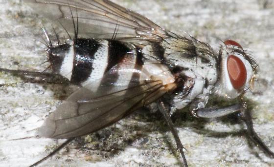 banded fly - Zelia - female