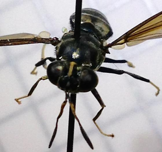 dark blue fly - Hermetia illucens