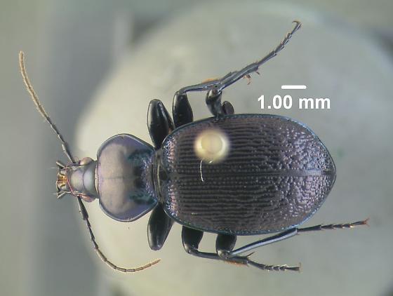 Sphaeroderus sp. - Sphaeroderus stenostomus