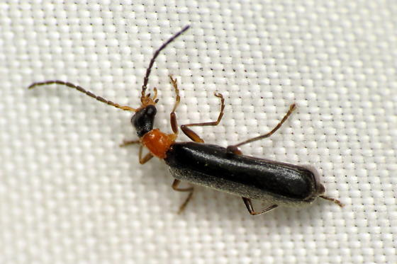 Podabrus-like beetle? - Dichelotarsus
