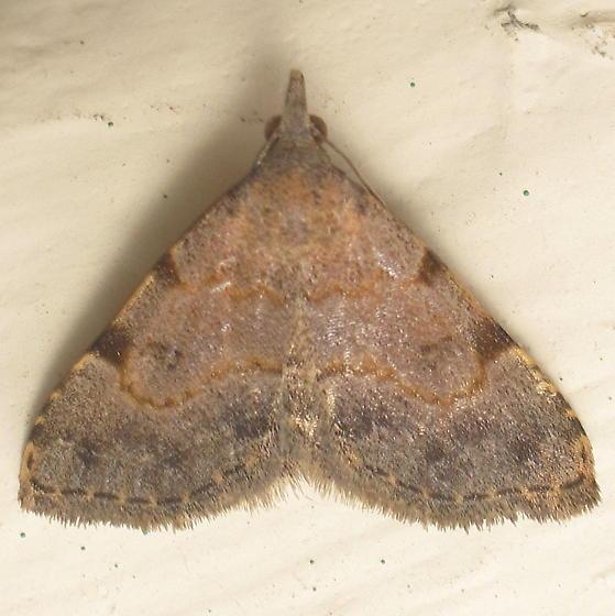Unid. Zanclognatha (?)  - Nychioptera accola