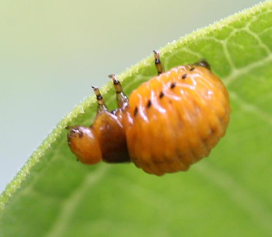 Swamp Milkweed Leaf Beetle Larva - Labidomera clivicollis