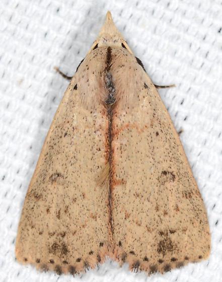 Scolecocampa liburna - Dead-wood Borer Moth - Scolecocampa liburna