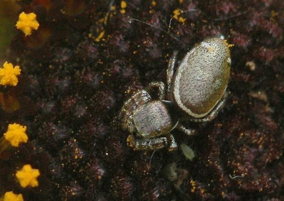 Small spider - Sassacus vitis