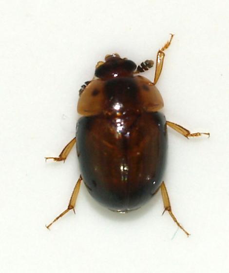 fungus beetle ? Oaks, Junipers, Sycamores - Pallodes plateosus