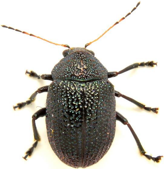 N1? - Colaspis brownsvillensis