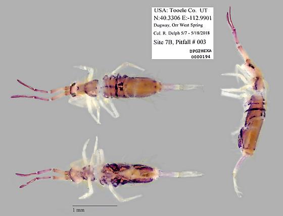 Entomobryidae - Entomobrya unostrigata