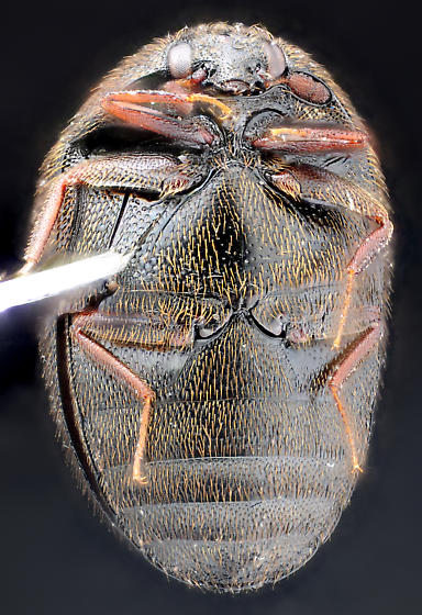 Cryptorhopalum sp., ventral - Cryptorhopalum obesulum