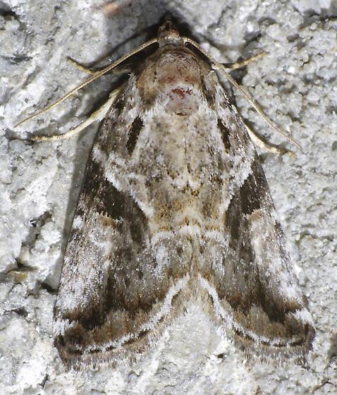 moth - Diastema n-sp