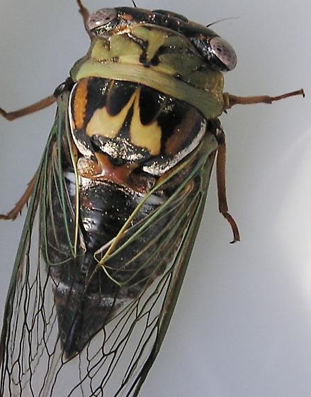 Western Dusk Screaming Cicada #2 - Megatibicen resh - female