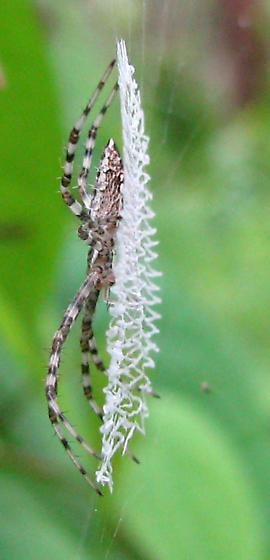 Sideview of immature FL argiope - Argiope aurantia