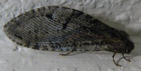Giant Lacewing - Polystoechotes punctata