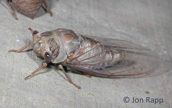 Cicada (teneral) - Megatibicen resonans - female