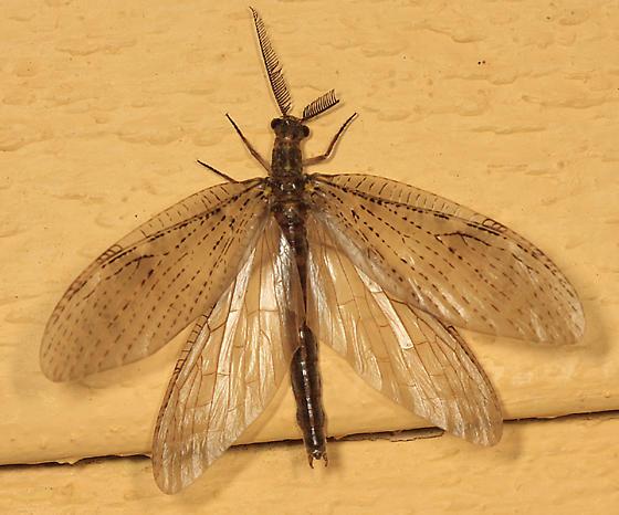 Summer Fishfly - Chauliodes pectinicornis