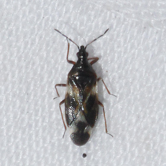 Anthocoridae, I think?