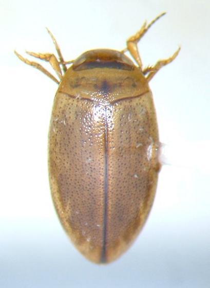 Dytiscid 01 - Coelambus dissimilis
