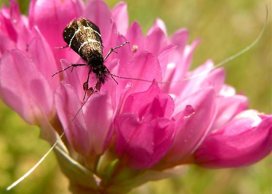 Fairy Moth (Adela septentrionella) - Adela septentrionella - male