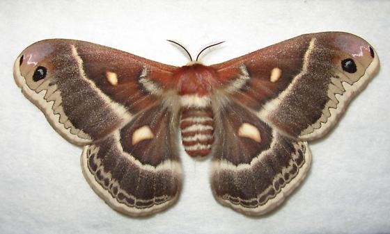 Hyalophora columbia? - Hyalophora columbia - female