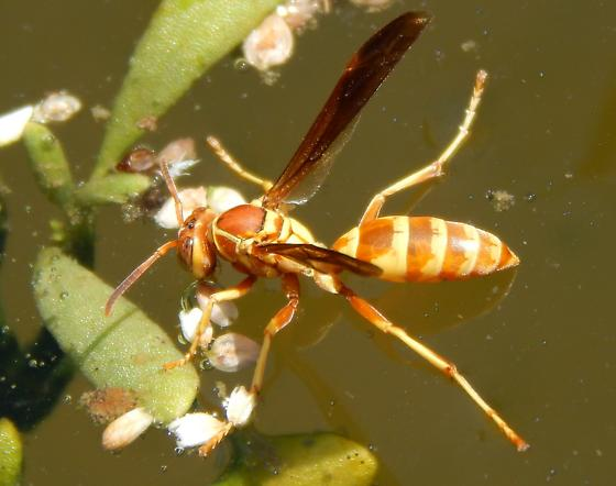 Polistes floating and drinking - Polistes dorsalis - female