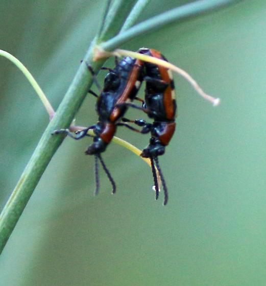Tiny beetles, Cleridae? - Crioceris asparagi