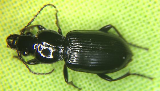 CARABIDAEPterostichus mutusWoodland Ground Beetle - Pterostichus caudicalis
