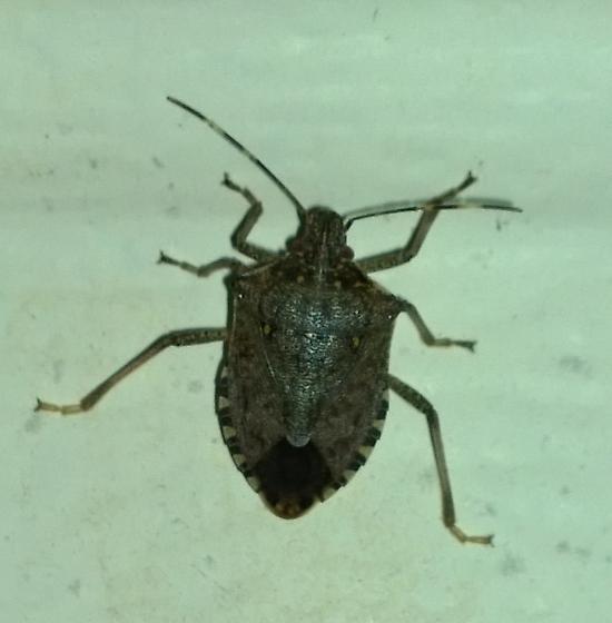 Unknown stink bug - Halyomorpha halys