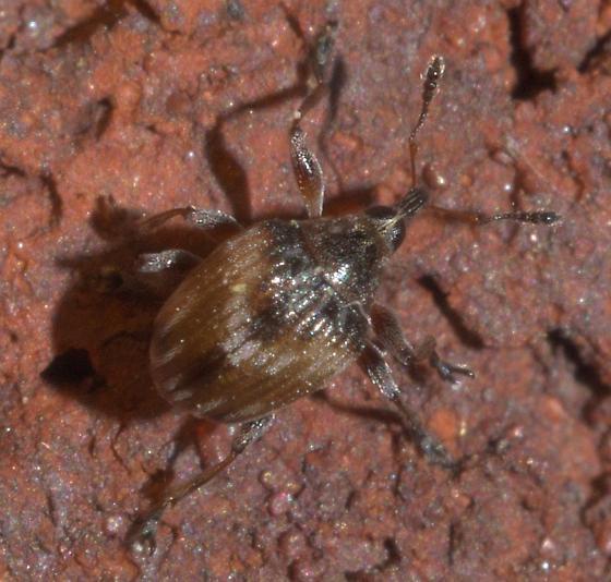 Small, round weevil - Nanodactylus obesulus