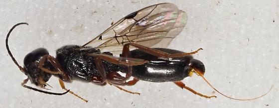 Unknown Hymenoptera - Vanhornia eucnemidarum - female