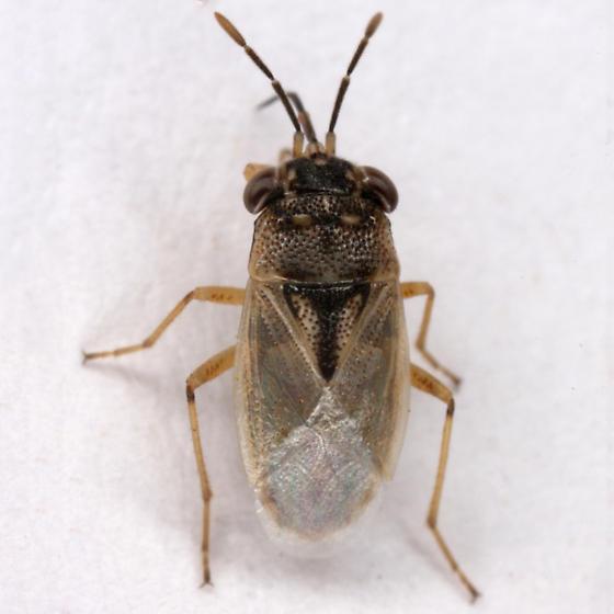 unknown Hemipteran - Geocoris pallens