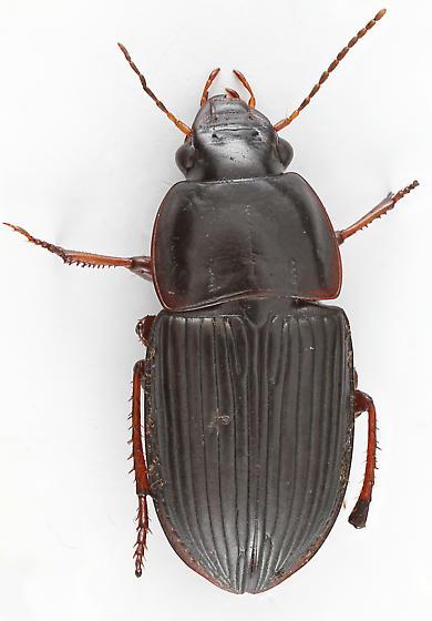 Ground Beetle - Anisodactylus dulcicollis - female