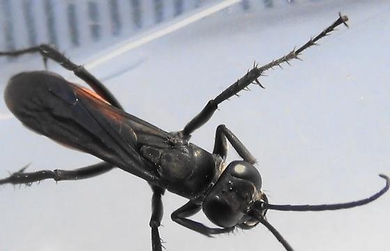 Spider Wasp Body Scan - Anoplius americanus - female