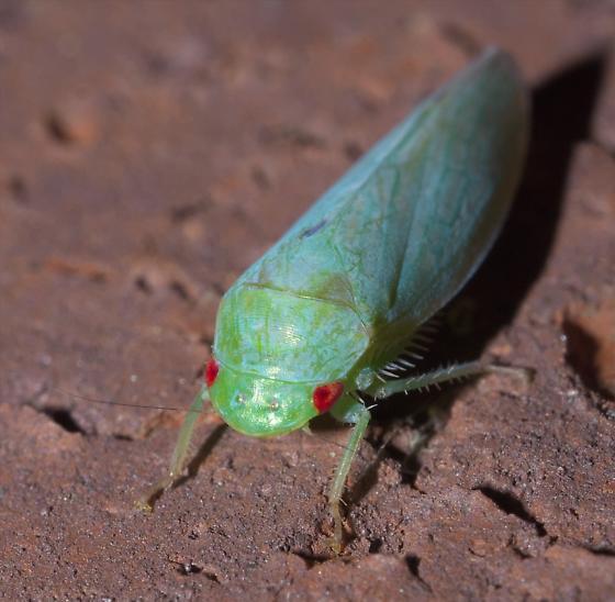 Green leafhopper with blue wax - Gyponana