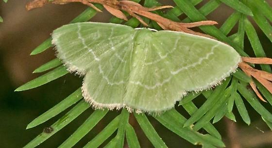 MothGreenTBID_04262015_AR_ - Synchlora