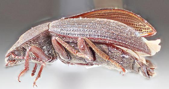 Mojave-40 - Blapstinus brevicollis