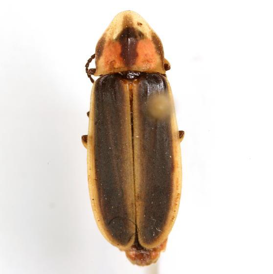 Pyractomena lucifera COMPLEX - Pyractomena - female