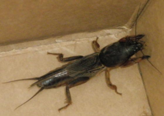 Big Bug - Gryllotalpa gryllotalpa - female