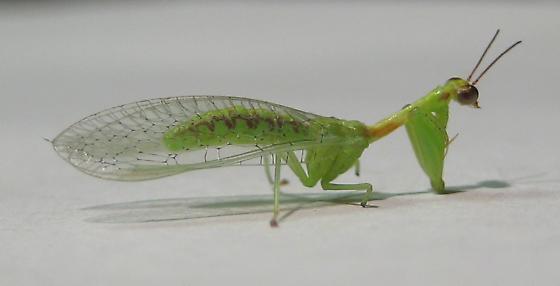 Zeugomantispa minuta - Green Mantisfly - Zeugomantispa minuta