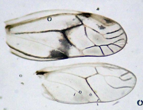 Mystery female psocid - Psocus crosbyi - female